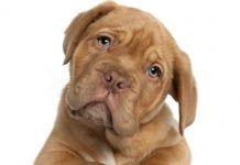 inmunidad del perro