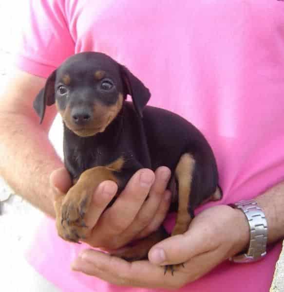 mini pincher cachorro