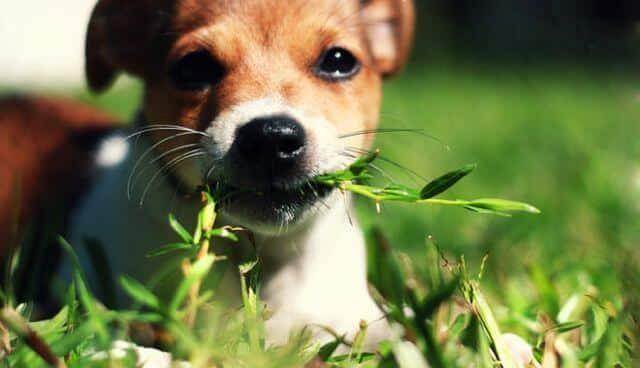 Por que los perros comen pasto