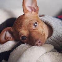 Por que tiemblan los perros