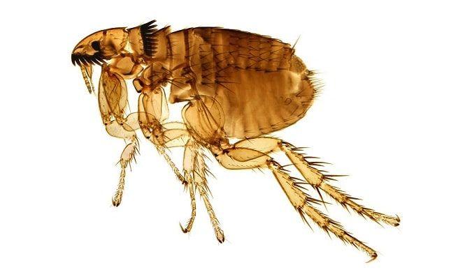parasito pulga