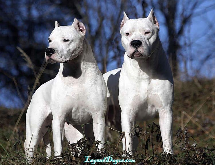Hermosos ejemplares de Dogo Argentino
