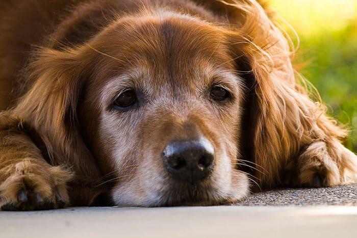 Los cuidados del perro en la vejez son importantes para mejorar su calidad de vida