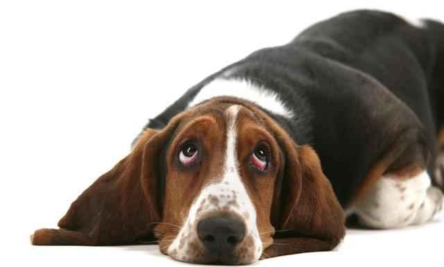 perro en celo depresion
