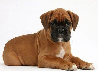 raza de perros boxer