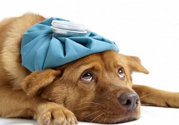 Consulta con tu Médico Veterinario los efectos secundarios de la vacunación