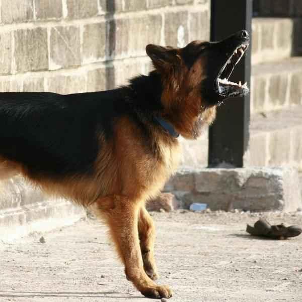 perro en celo frustrado