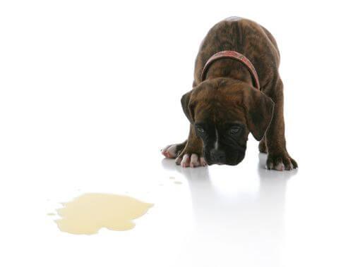 por que los perros vomitan espuma blanca