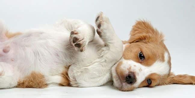 por que los perros vomitan sangre
