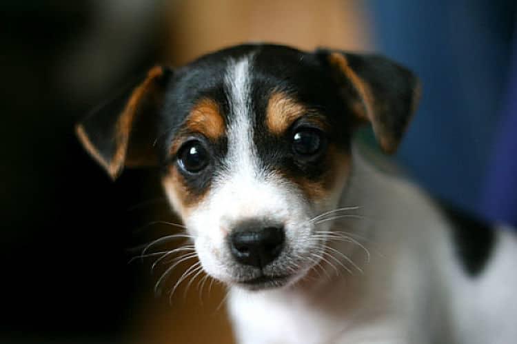 Cachorro de Jack Russell tricolor