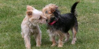 apareamiento entre perros