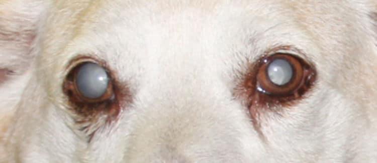 Perro con cataratas, se puede ver la mancha blanca característica en ambos ojos