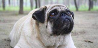 sintomas de hipotiroidismo en perros