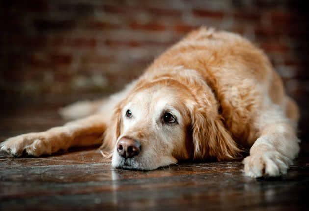 sintomas de cushing en perros