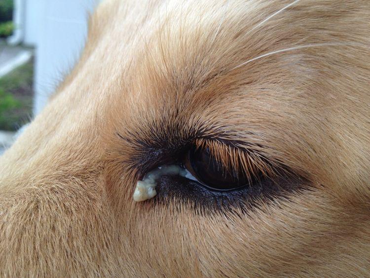 Se puede notar la descarga en el ojo, síntoma de una infección ocular