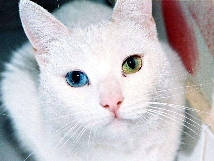 Esta raza tailandesa se ha ganado los corazones de los amantes de los gatos de todo el mundo