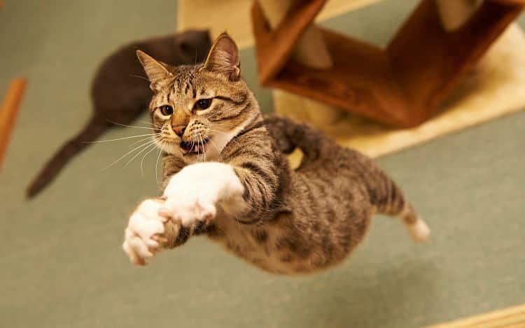 Los gatos son excelentes gimnastas