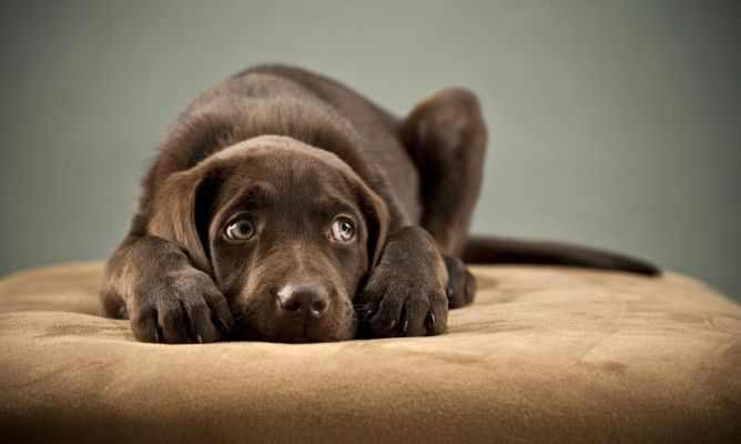 sintomas de leptospirosis en perros