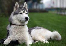 perros Husky Siberiano