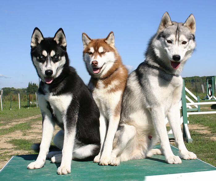 raza de perros Husky Siberiano