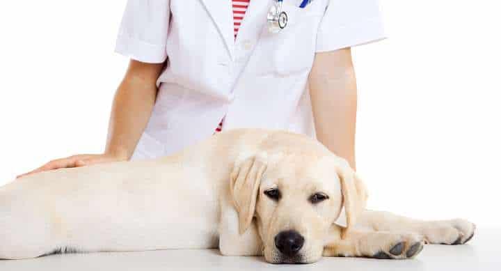 diagnostico de hipotiroidismo en perros