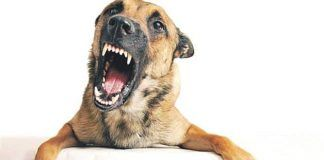 rabia en perros