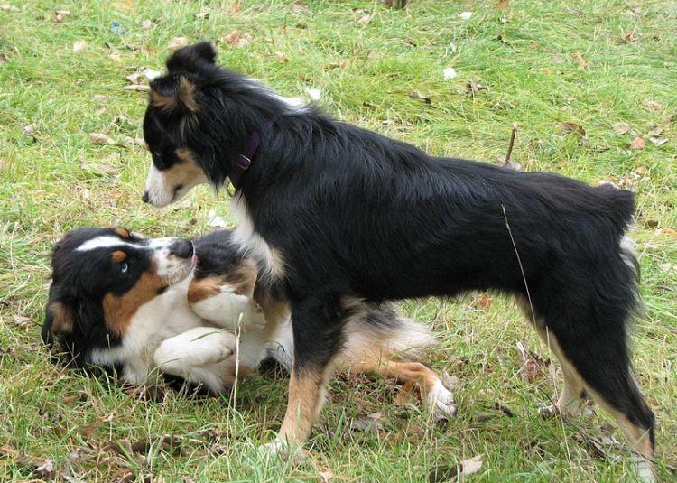 Actitud dominante presente en uno de estos dos perros