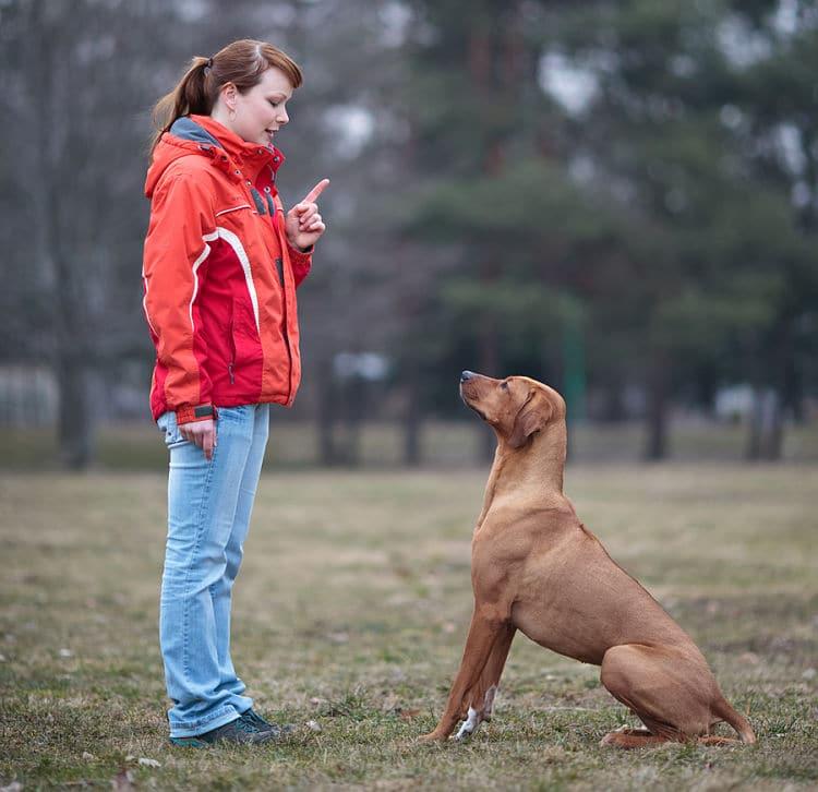 El entrenamiento permanente en obediencia ayuda a controlar la dominación en perros