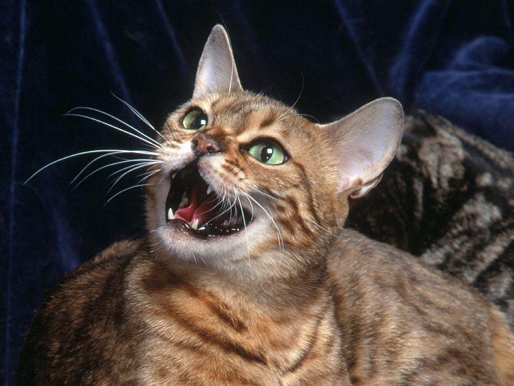 Cuando no puedes encontrar la causa del exceso de maullidos de tu gato, consulta con un veterinario