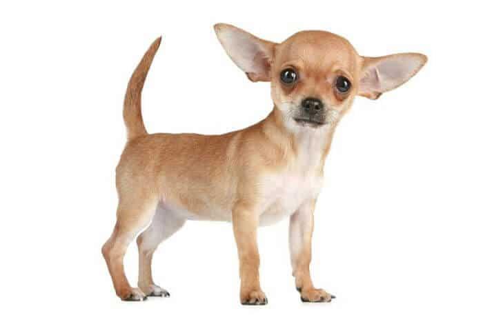 perros Chihuahua