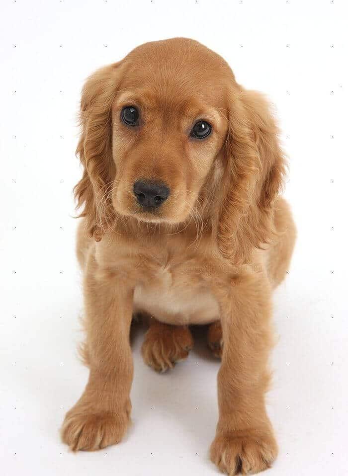 perros cocker spaniel