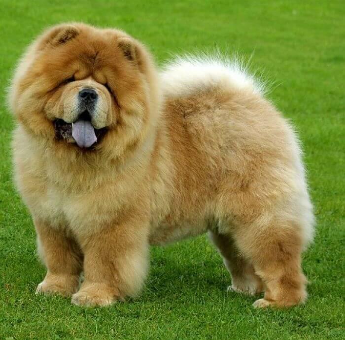 raza de perros chow chow