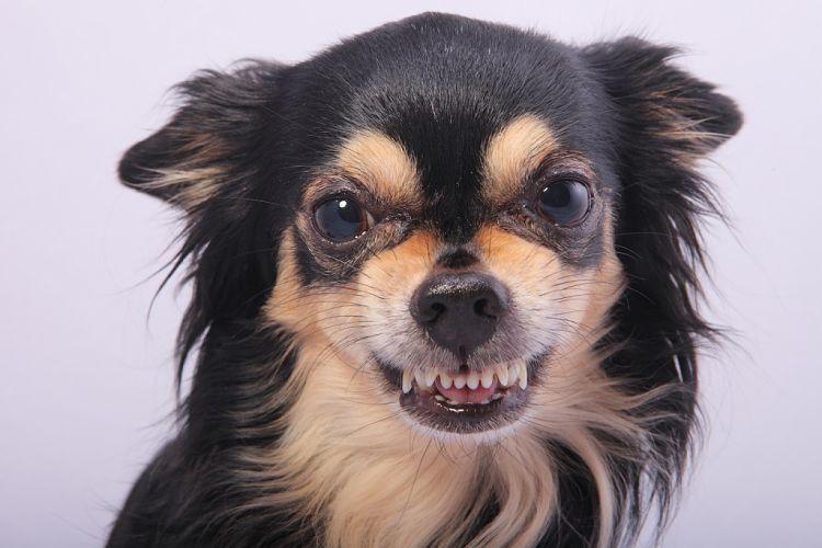 Los perros de cualquier raza pueden volverse dominantes