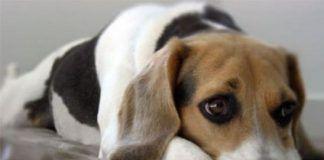 sintomas del moquillo en perros