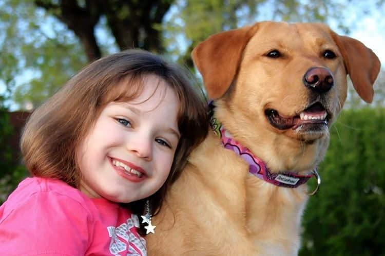 Los labradores son frecuentemente usados también como perros de asistencia