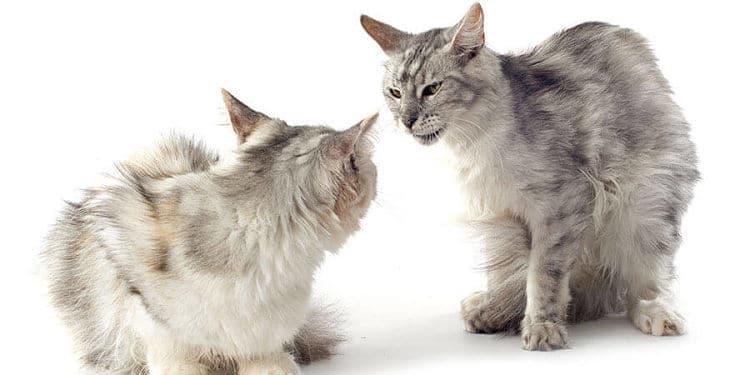 Se pueden ver ambos tipos de agresividad. El gato de la izquierda es defensivo y el de la derecha ofensivo