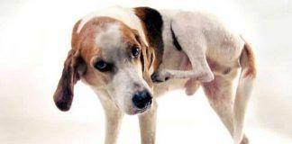 dermatitis en los perros