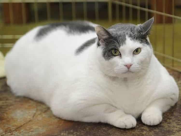 La obesidad es un problema que aumenta los riesgos de salud de nuestro gato