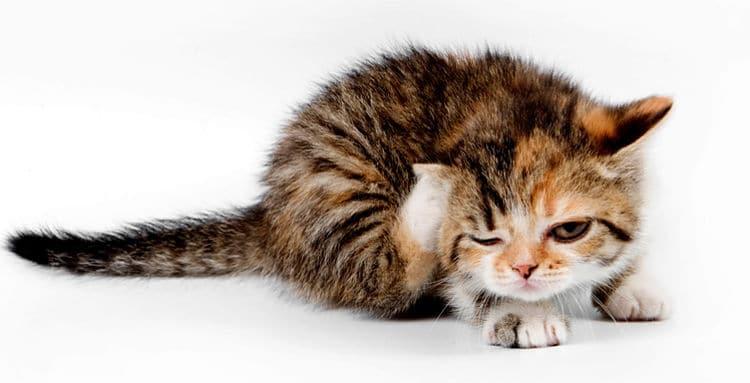 El rascarse mucho es uno de los síntomas de las pulgas en los gatos