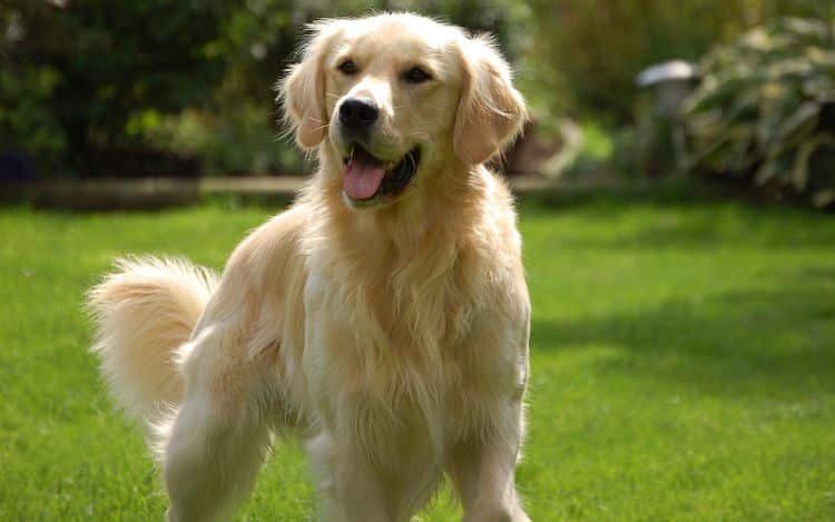 Los Golden Retriever son una excelente elección