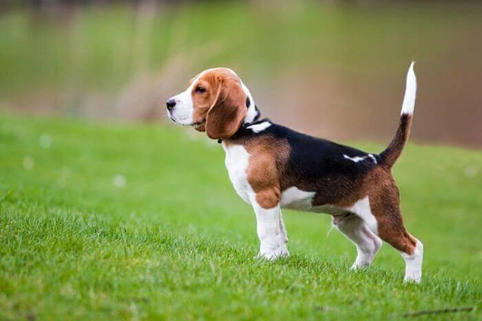 perros beagle