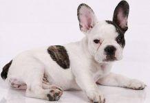 raza de perros bulldog francés