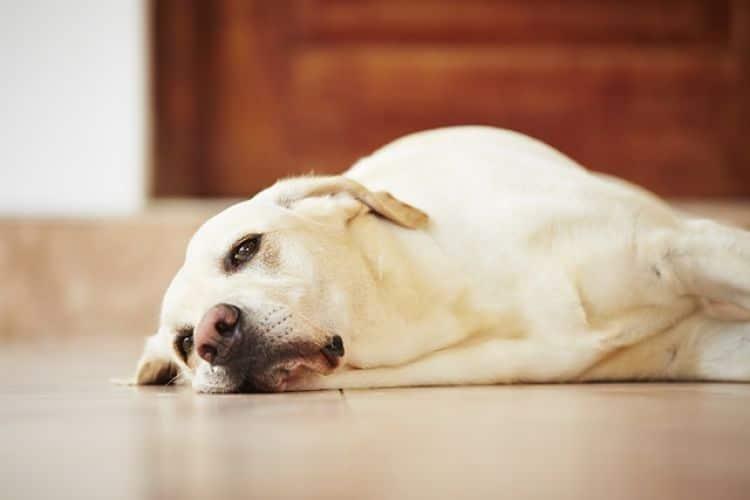 Los perros con gusanos en el corazón suele estar siempre muy cansados