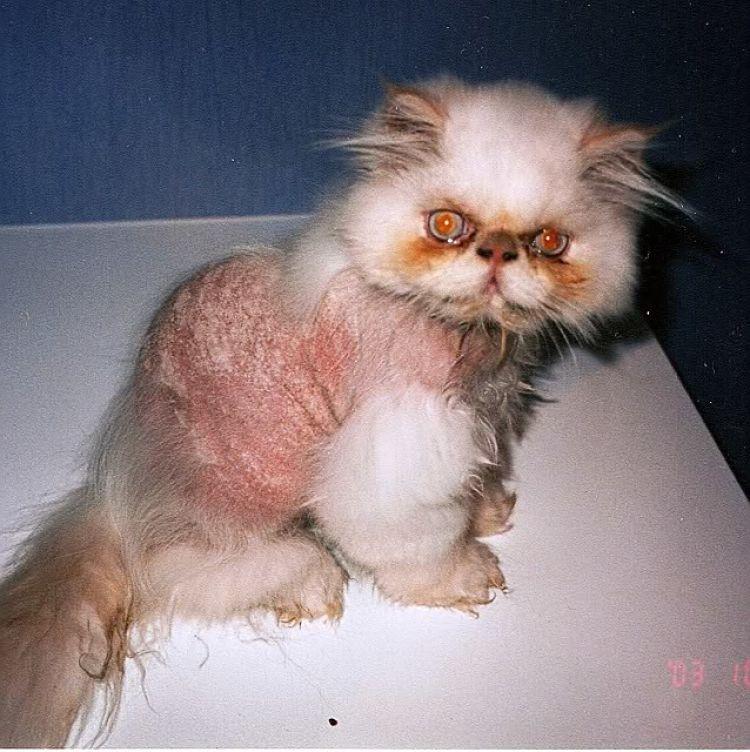 Gato Himalayo con severo caso de tiña