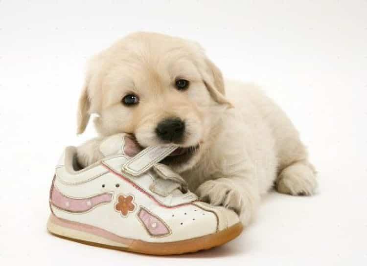 En los cachorros el masticar es una manera de explorar el mundo