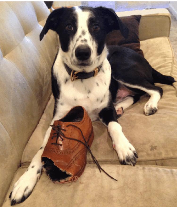 Los perros adultos también puede masticar cosas inapropiadas