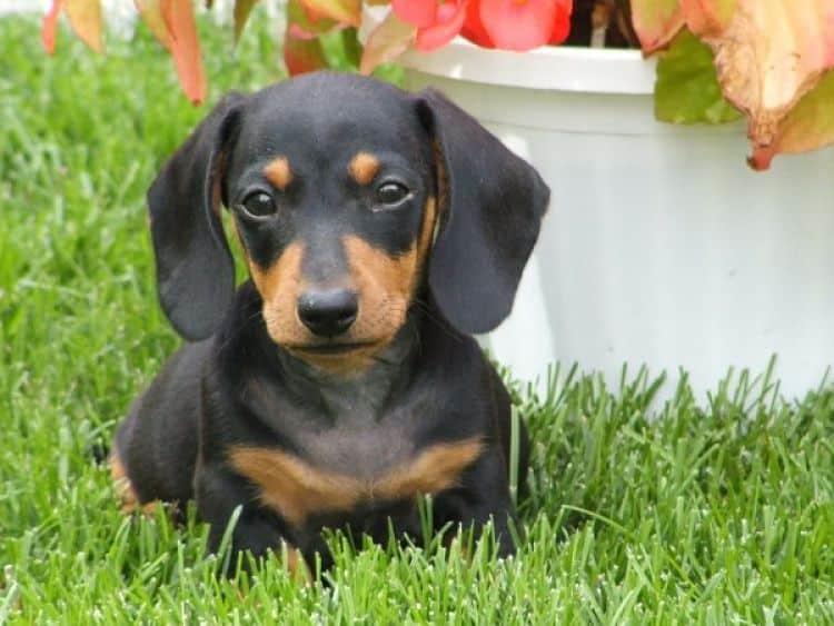 8 Razas De Perros Que No Sueltan Pelo