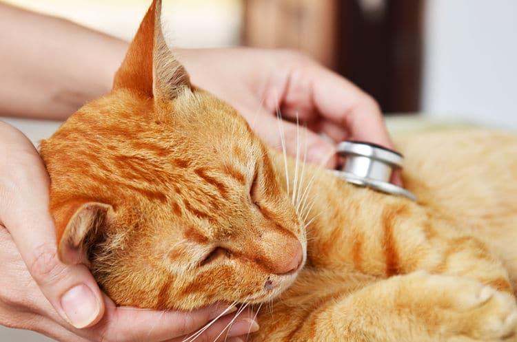 La visita el médico veterinario es la mejor manera de diagnosticar las enfermedades del tracto urinario