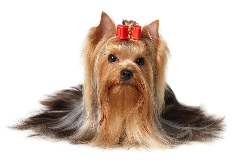 Hermosa Yorkshire Terrier