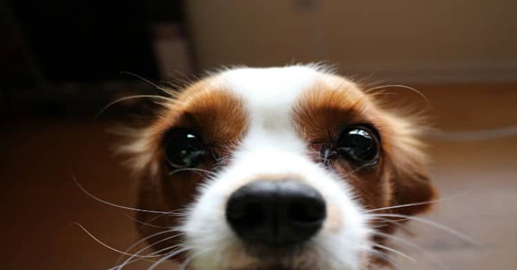 Bigotes-en-perros